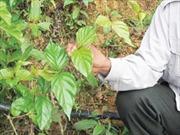 Xót xa nạn tự tử bằng lá ngón ở Đắk Nông