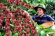 Xây dựng cánh đồng mẫu lớn cho cây cà phê