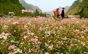 Đắm say hoa tam giác mạch đất Hà Giang