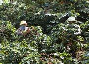 Nâng chất lượng cà phê Việt Nam