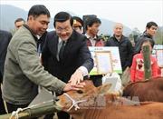 Chủ tịch nước trao tặng bò giống giúp đồng bào nghèo biên giới