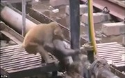 Cảm động chú khỉ cứu sống bạn bị điện giật