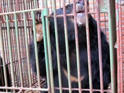 Nguyên nhân hơn 80 con gấu nuôi bị chết trong vòng 1 năm