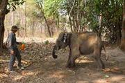 Cận cảnh chăm sóc, phẫu thuật cho voi rừng bị thương
