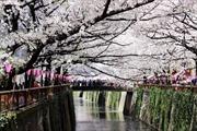 Say đắm mùa hoa anh đào Nhật Bản