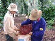 Phát triển ngành cà phê vẫn bấp bênh