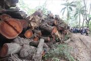 Điều tra vụ chặt trái phép cây gỗ sến và dầu tại Gia Lai