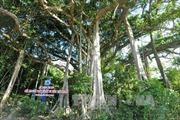Quần thể cây đa hơn 500 năm tuổi ở Hà Giang là cây di sản