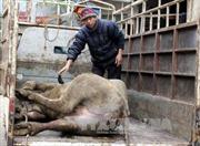 Hơn 12.700 con gia súc chết do đói, rét