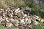 Cá chết hàng loạt ở Australia?