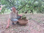 Nhãn Hưng Yên mất mùa sau mưa bão