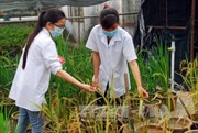 Sản xuất gạo ngon để tăng thu nhập cho nông dân