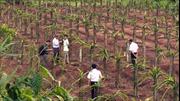 Gia Lai chủ động chuyển đổi cây trồng