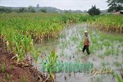 Mưa lũ gây ngập úng gần 300 ha cây trồng tại Đắk Nông