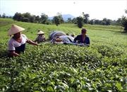 Phú Thọ mở rộng diện tích sản xuất chè an toàn