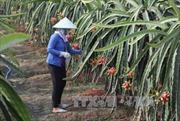 Thanh long trái mùa được giá