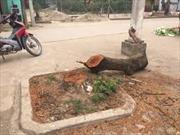 Làm rõ chặt cây phản cảm 'đòi' vỉa hè ở Hà Nội