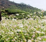 Tháng 4, đi Mộc Châu ngắm hoa tam giác mạch khoe sắc