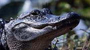 Bé gái 10 tuổi thoát khỏi miệng cá sấu bằng chiêu… chọc mũi
