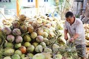 Giá dừa khô tăng gấp đôi tại Tiền Giang