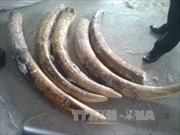 Phó Thủ tướng chỉ đạo điều tra vụ Hải quan đánh tráo tang vật ngà voi
