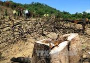 Kiểm tra hiện trường, điều tra vụ phá hơn 43 ha rừng tự nhiên tại Bình Định