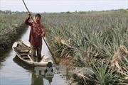 Tiền Giang giải cứu 300 ha dứa ngập úng do mưa lũ