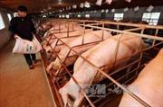 Xúc tiến xuất khẩu thịt lợn: Cơ hội của Việt Nam đã tới