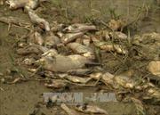 Quảng Ngãi điều tra nguyên nhân khiến cá chết hàng loạt