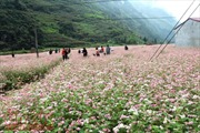 Ngắm hoa tam giác mạch đẹp mê mải ở Hà Giang