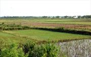 Nhiều đồng ruộng ở Vĩnh Phúc bị bỏ hoang trong vụ Đông