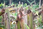 Phú Thọ: Gần 3.300 cây chuối bị chặt phá trong đêm, thiệt hại hơn 700 triệu đồng