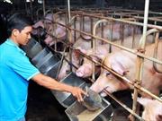 Không xây dựng chuỗi liên kết trong chăn nuôi, điệp khúc 'giải cứu' sẽ lặp lại