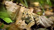 Video hiếm về loài mèo nhỏ nhất thế giới nằm vừa lòng bàn tay