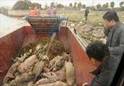 Tìm ra nguồn gốc hàng ngàn xác lợn ở Trung Quốc