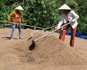 Sản xuất lúa gạo ở ĐBSCL: Khát vọng khẳng định vị thế-Bài 2: Chiến lược xuất khẩu gạo cao cấp