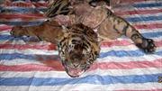 Cận cảnh vụ xẻ thịt hổ dã man trong bóng tối