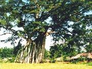 Hình ảnh cây đa Tân Trào được chọn làm logo của tỉnh Tuyên Quang