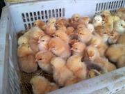 Tiêu huỷ 11.000 con gà giống nhập lậu