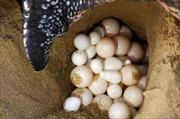 Bà Rịa-Vũng Tàu: Xét xử vụ mua bán trứng vích của Vườn Quốc gia Côn Đảo
