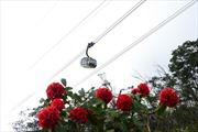 Tháng 4 về, Sun World Fansipan Legend rực rỡ sắc màu hoa đỗ quyên