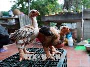 Thụ tinh nhân tạo cho gà Đông Tảo để bảo tồn nguồn giống quý