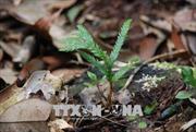 Bảo tồn, phát triển 3 loài thực vật quý hiếm tại Khu bảo tồn thiên nhiên Xuân Liên