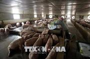 Đồng Tháp không khuyến khích tăng quy mô đàn lợn