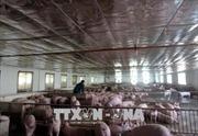 Mỗi tháng lãi 200 triệu đồng từ nuôi lợn