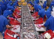 Hồi phục ngành cá tra - Bài 1: Trở lại thời kỳ 'hưng thịnh'