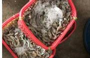 Phát hiện 2 cơ sở kinh doanh hải sản có bơm tạp chất vào tôm