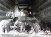 Nỗ lực gỡ bỏ 'thẻ vàng' IUU: Cơ hội và thách thức của ngành khai thác hải sản - Bài 2