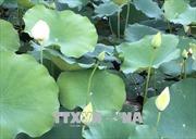 Nhân rộng giống sen trắng quý hiếm ở khu vực Đại Nội, Huế