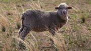 Cừu nhiễm phóng xạ lý giải quầng sáng bí ẩn trên Ấn Độ Dương 39 năm trước